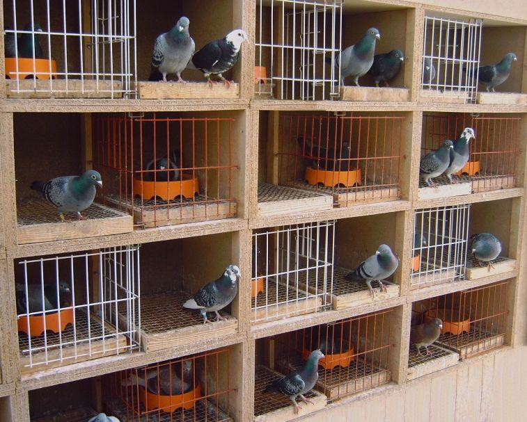 Schaschkow Pigeons Loft Racing Pigeons Volaille Poule