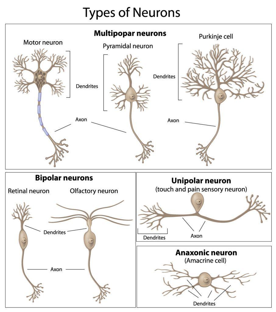 Neuron Types | neurons | Pinterest