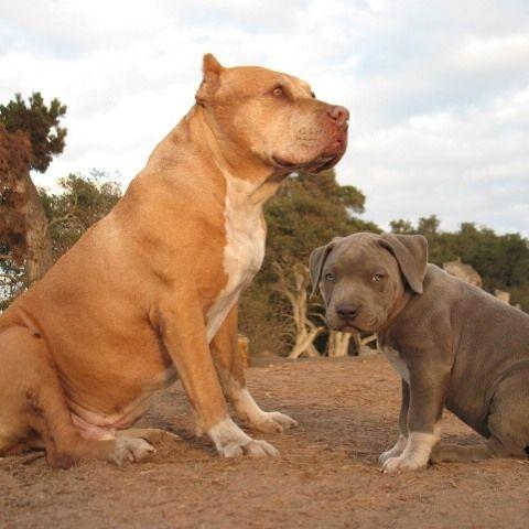 My Guys Daddy Junior Tbt Dog Behaviorist Your Dog Bully Dog