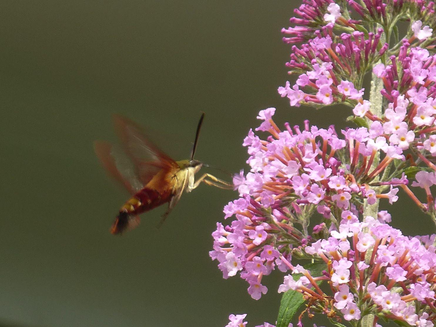 Hummingbird moth / Belmont MA Hummingbird moth, Love