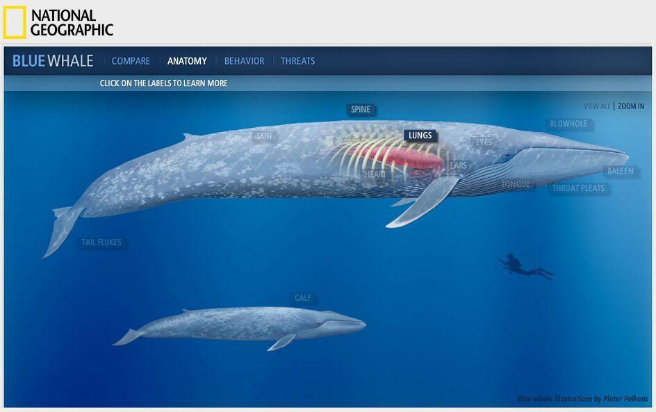 Blue Whale Anatomy Anatomy Note World Pinterest Blue Whale