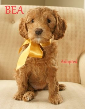 Litter of 9 Australian Labradoodle puppies for sale in