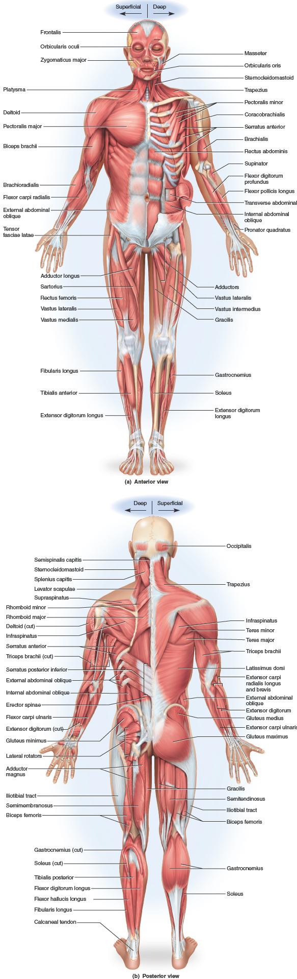 Pin by Dan Garza on Drawing: Human anatomy study | Pinterest ...