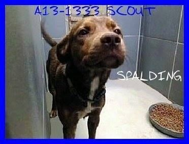 A13-1333 SCOUT LABRADOR MIX MALE ADULT LAST DAY OCT 22 PAST LAST DAY, BUT STILL THERE AND CAN GO DOWN AT ANY TIME  For information on the dogs call the shelter director at 770-467-4772.  https://www.facebook.com/photo.php?fbid=646733085357315&set=a.184482464915715.41209.184442991586329&type=3&theater