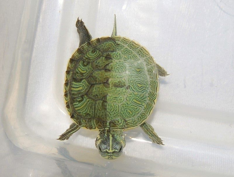 9 Absolutely Stunning Chimera Animals Trends Addict Animals Rare Animals Turtle