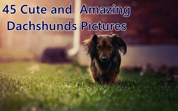 45 Cute And Amazing Dachshunds Pictures Dachshund Popular Dog
