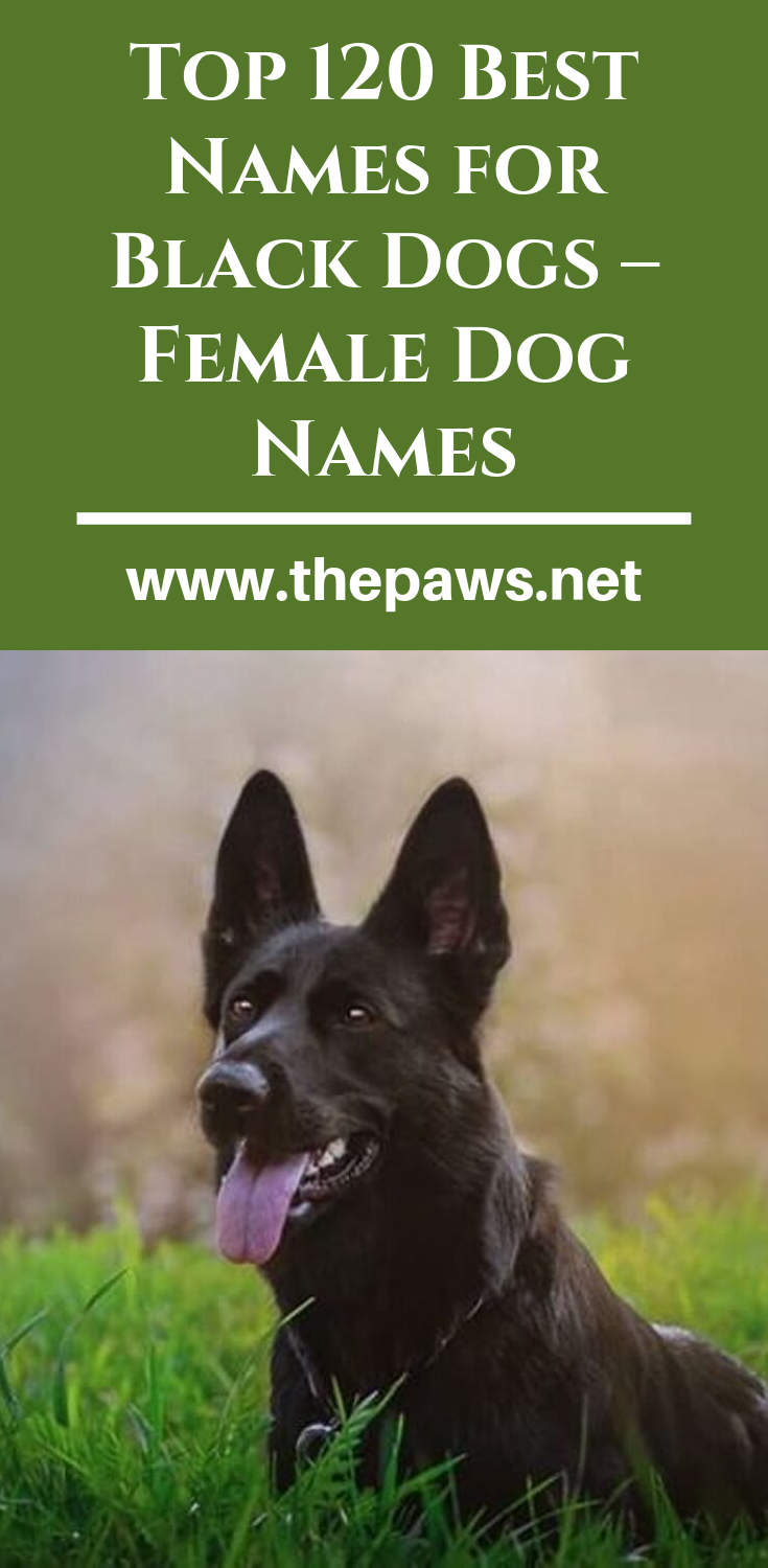 Top 120 Best Names for Black Dogs – Female Dog Names-#Black #DOG #dogs #Female #Names #Top-Top 120 Best Names for Black Dogs – Female Dog Names thepaws.net julisguide Dachshund Here the list of Top 120 Best Names for Black Dogs – Female Dog Names #dognames #blackdognames #femaledognames #bestdognames  thepaws.net  Here the list of Top 120 Best Names for Black Dogs – Female Dog Names #dognames #blackdognames #femaledognames #bestdognames  julisguide  Top 120 Best Names for Black Dogs – Female Do