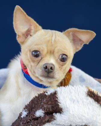 Petango Com Meet Oscar 5y 2m Chihuahua Short Coat X2f Mix