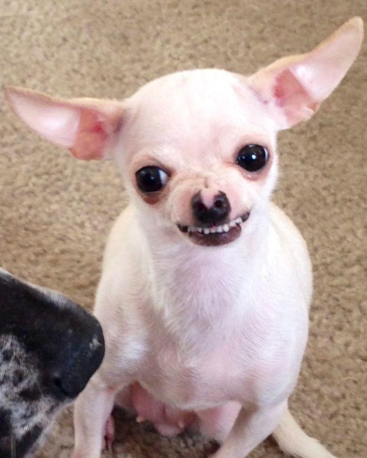 Angry chihuahua | Cute chihuahua, Chihuahua puppies ...