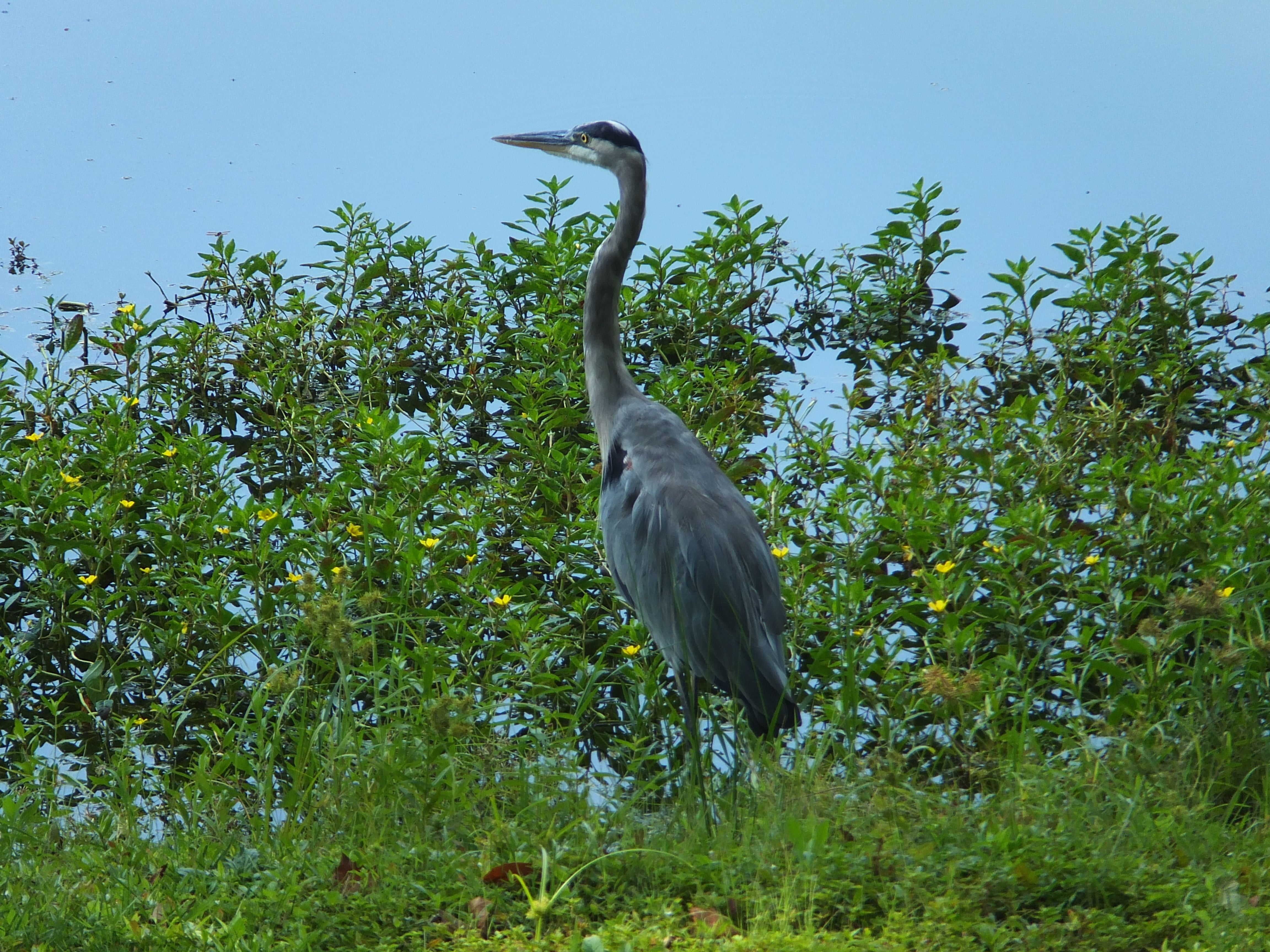 Great Blue Heron...in the back yard