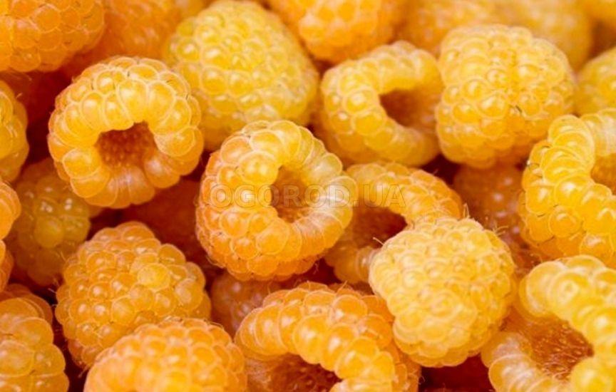 Желтая малина - выращивание из семян и уход | Малина ...