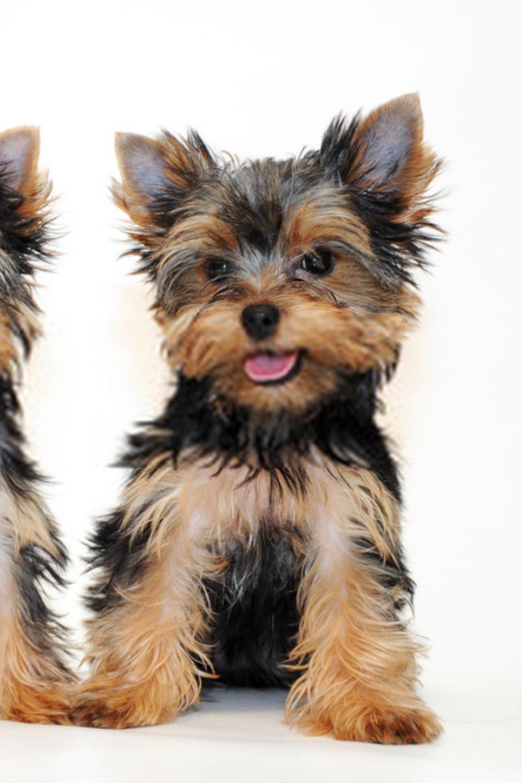 Yorkshire Terrier Puppies Terrier Puppies In 2020 Yorkshire Terrier Puppies Terrier Puppies Yorkshire Terrier