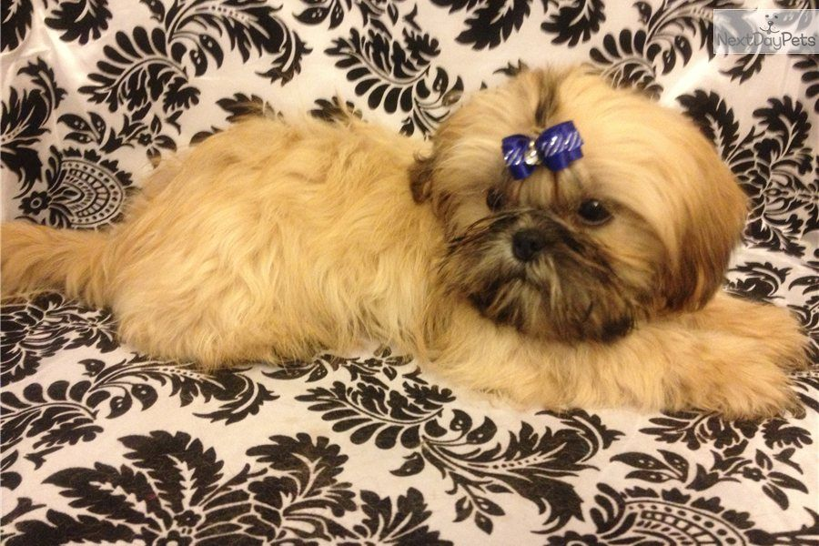 Akc Imperial Male Shih Tzu Puppy Looks Like He Belongs On Rodeo