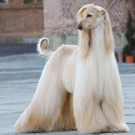 Afghan Hound Cream Dog Breeds Afghan Hound Hound Dog Breeds