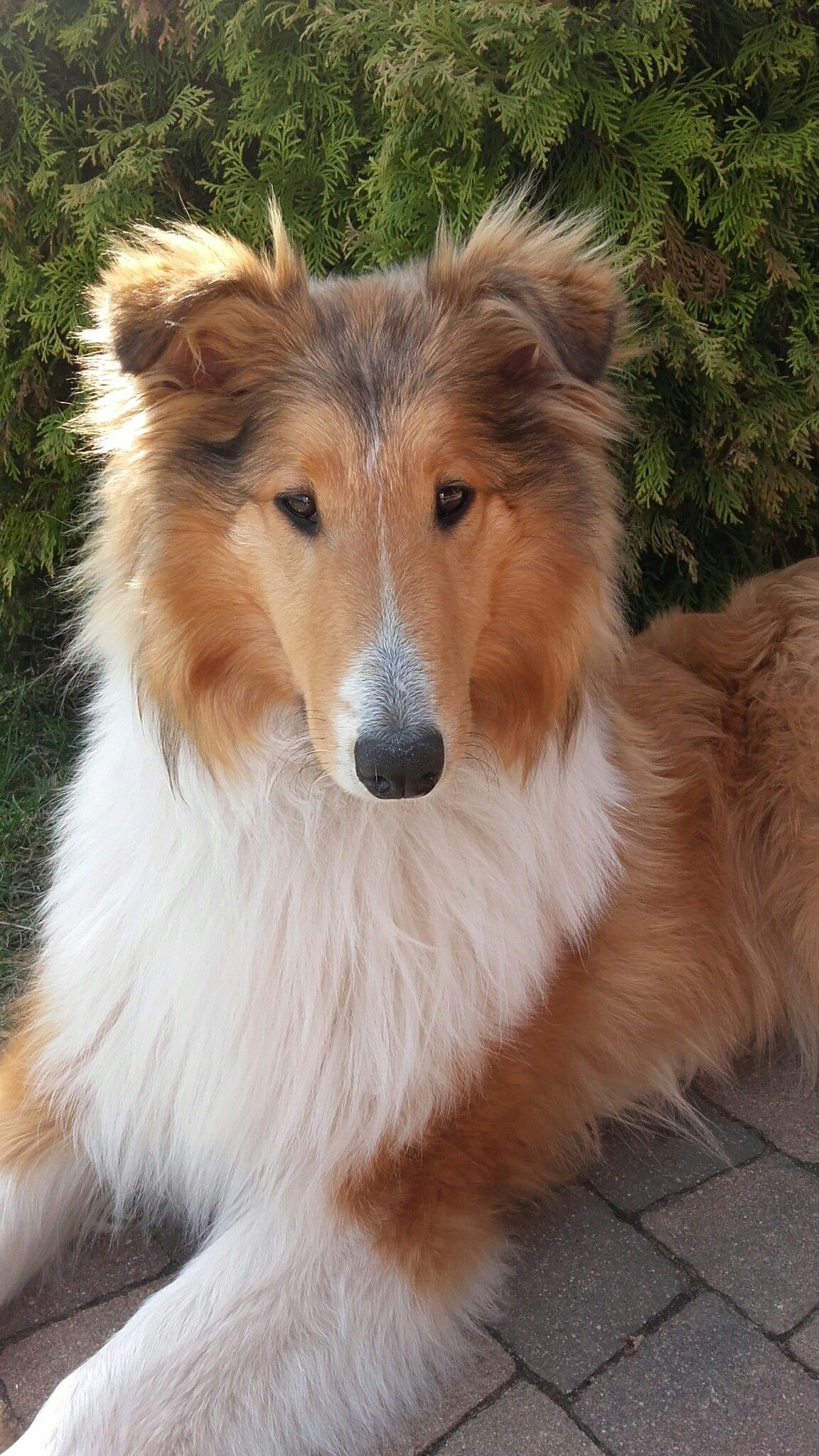 Beautiful Sable Rough Coat Collie Puppy 3 3 3 3 Sheep Dog