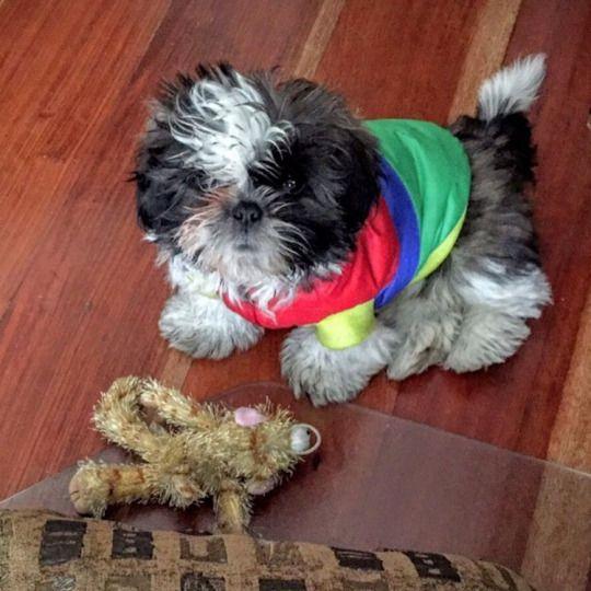 Luckyjulyfourlucky Puppy Shihtzupuppies Berchisgadgets