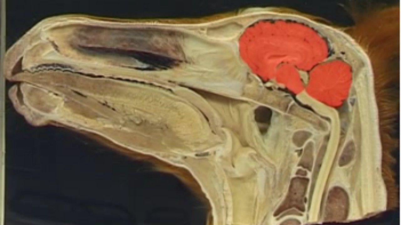 Horse Brain Anatomy Google Search Equine Anatomy Pinterest