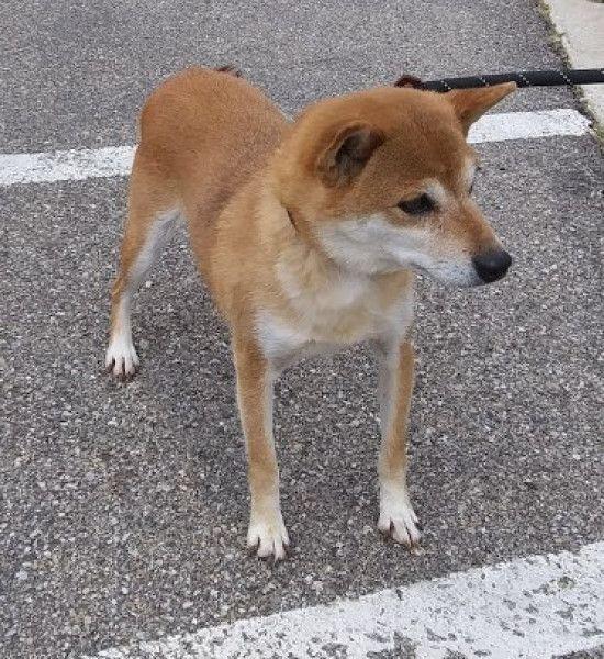 Shiba Inu Dog For Adoption In Austin Minnesota Jazz In Austin Minnesota Dog Adoption Shiba Inu Shiba Inu Dog