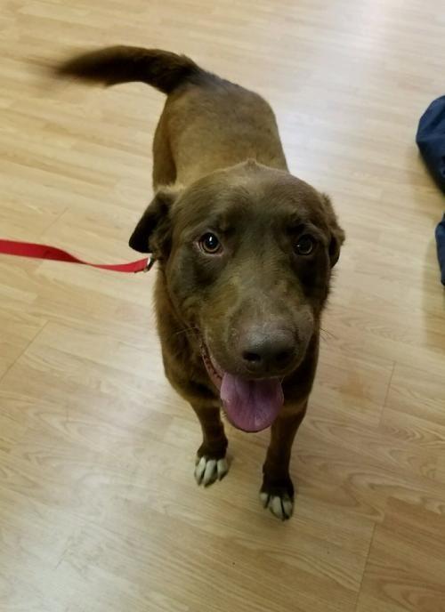 Adopt Hershey Mcdowell On With Images Chocolate Labrador Retriever Chocolate Labrador Dogs
