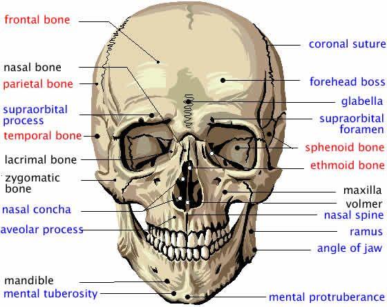 Flashcards Table on Cranial Bones In Detail | Anatomy | Pinterest ...