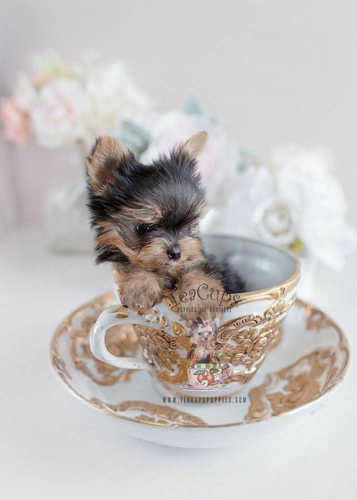 Pin By Joan Blevins On Dogs Yorkie Puppy Teacup Puppies Super