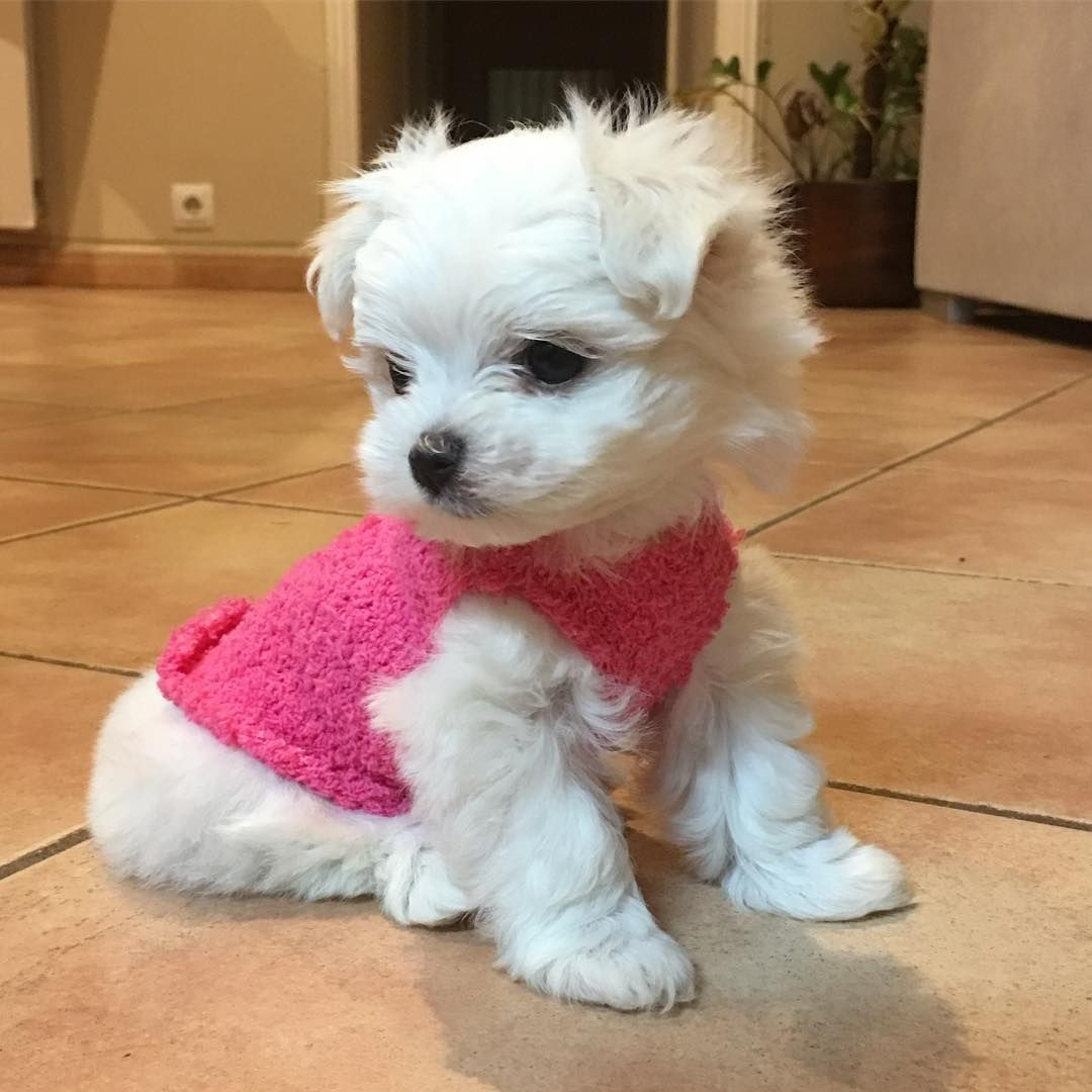 Bichon Maltes Toy Maltese Maltipoo Puppy Maltese Puppy Cute