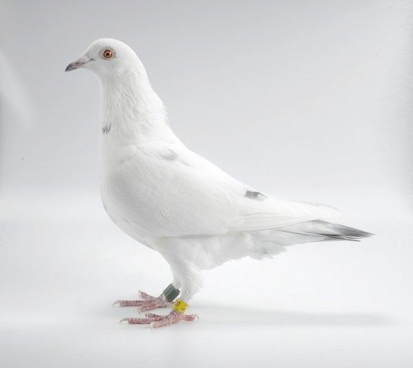 White Grizzle Homing Pigeon on White | RACING PIGEONS