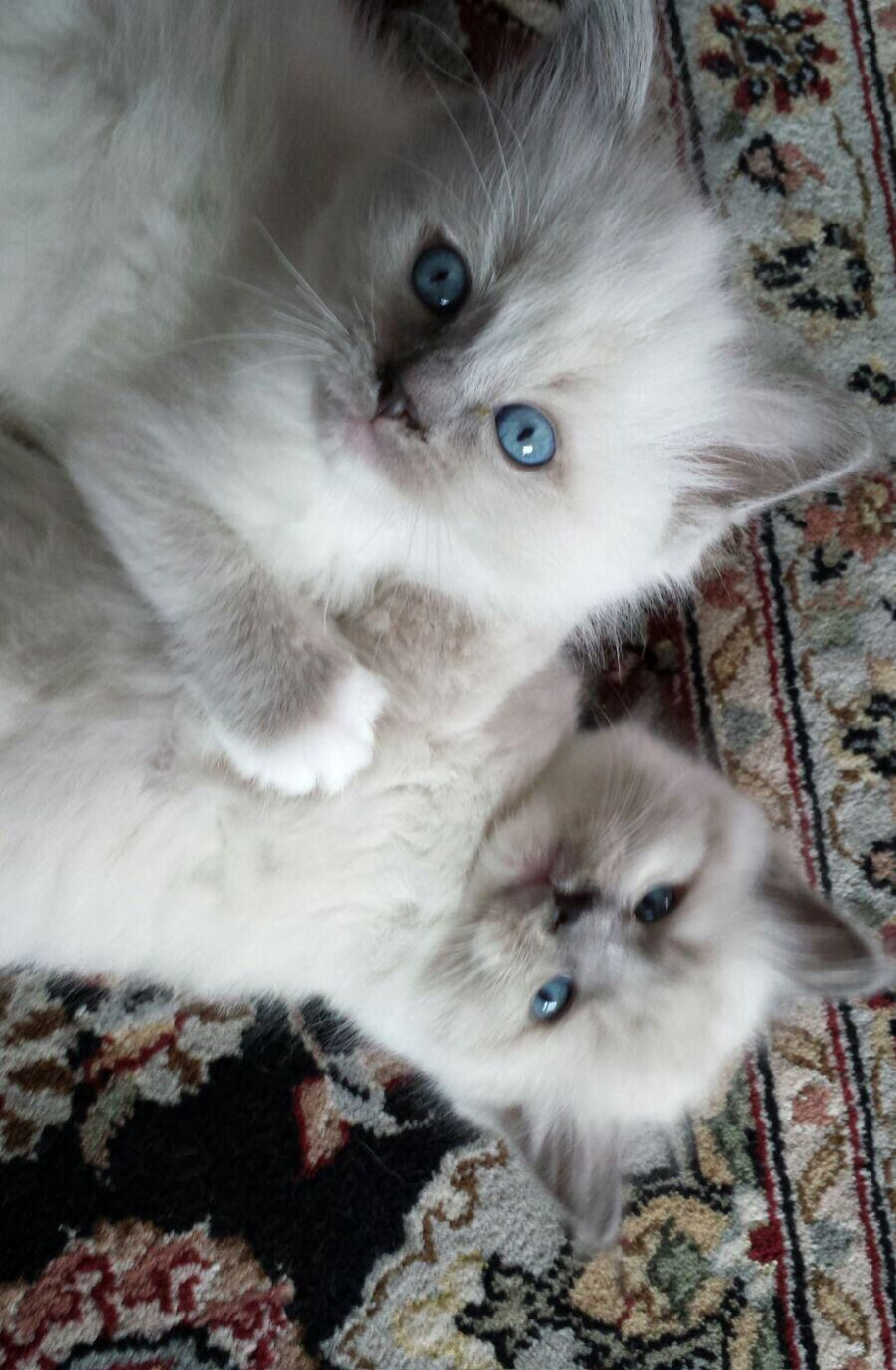 Harry And Sophie Blue Point Ragdoll Kittens Kittens Cute Animals Baby Animals