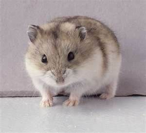 Winter White Hamster Oh My Goodness He S So Cute Looks Like Our Little Hammy Dwarf Hamster Hamster Dwarf Hamster Cages