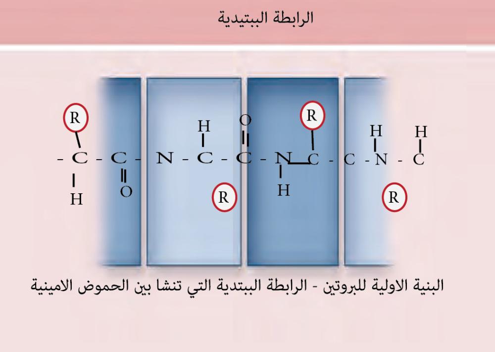 مستويات تركيب البروتين مؤسسة الياسر التعليمية Office Supplies Supplies Science