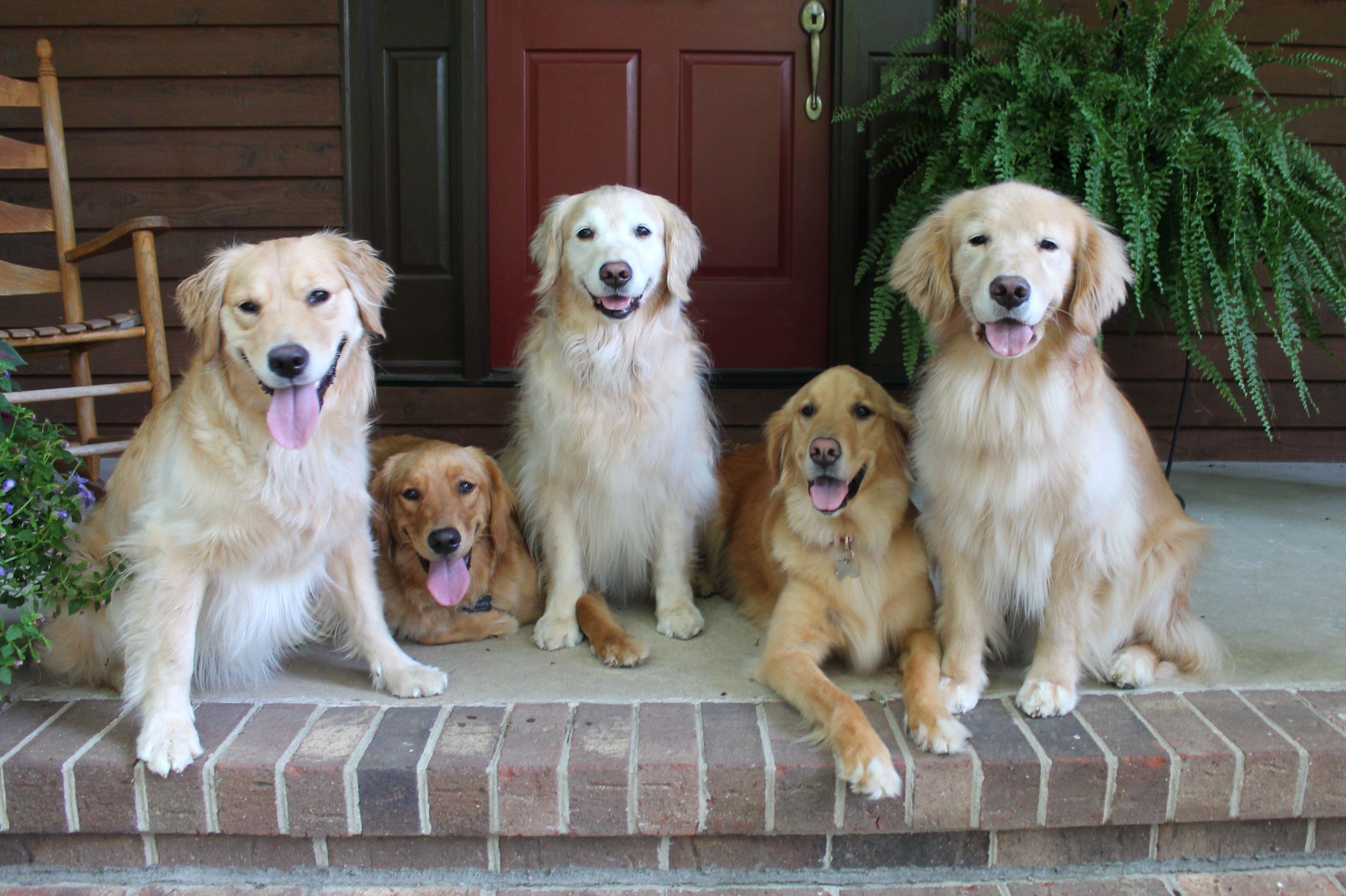 Golden Retriever Family Golden Family Golden Retriever Most