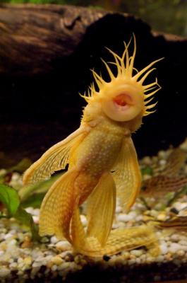 Image Credit Spheniscus Ch Image Credit M O O N That Spells Image Credit Plantedtank Net Image Cred Freshwater Aquarium Fish Aquarium Fish Ocean Creatures