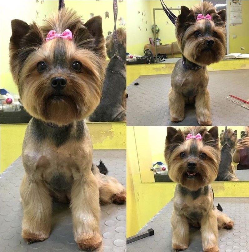 Pin On Yorkshire Terrier Dogs