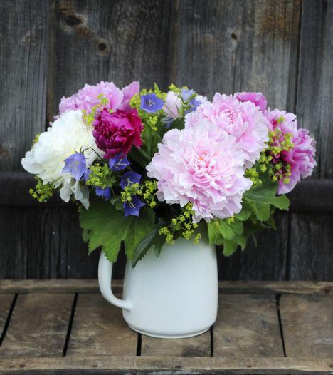 Romantikko poimii kimppuunsa paljon pioneja, kurjenkelloja ja jättipoimulehtiä. Pioni on myös oivallinen onnittelutilanteiden kukka, jota myydään leikkokukkana touko–heinäkuussa. / Peonies are beautiful in garden and in vase. Kuva/pic: Sari Tammikari