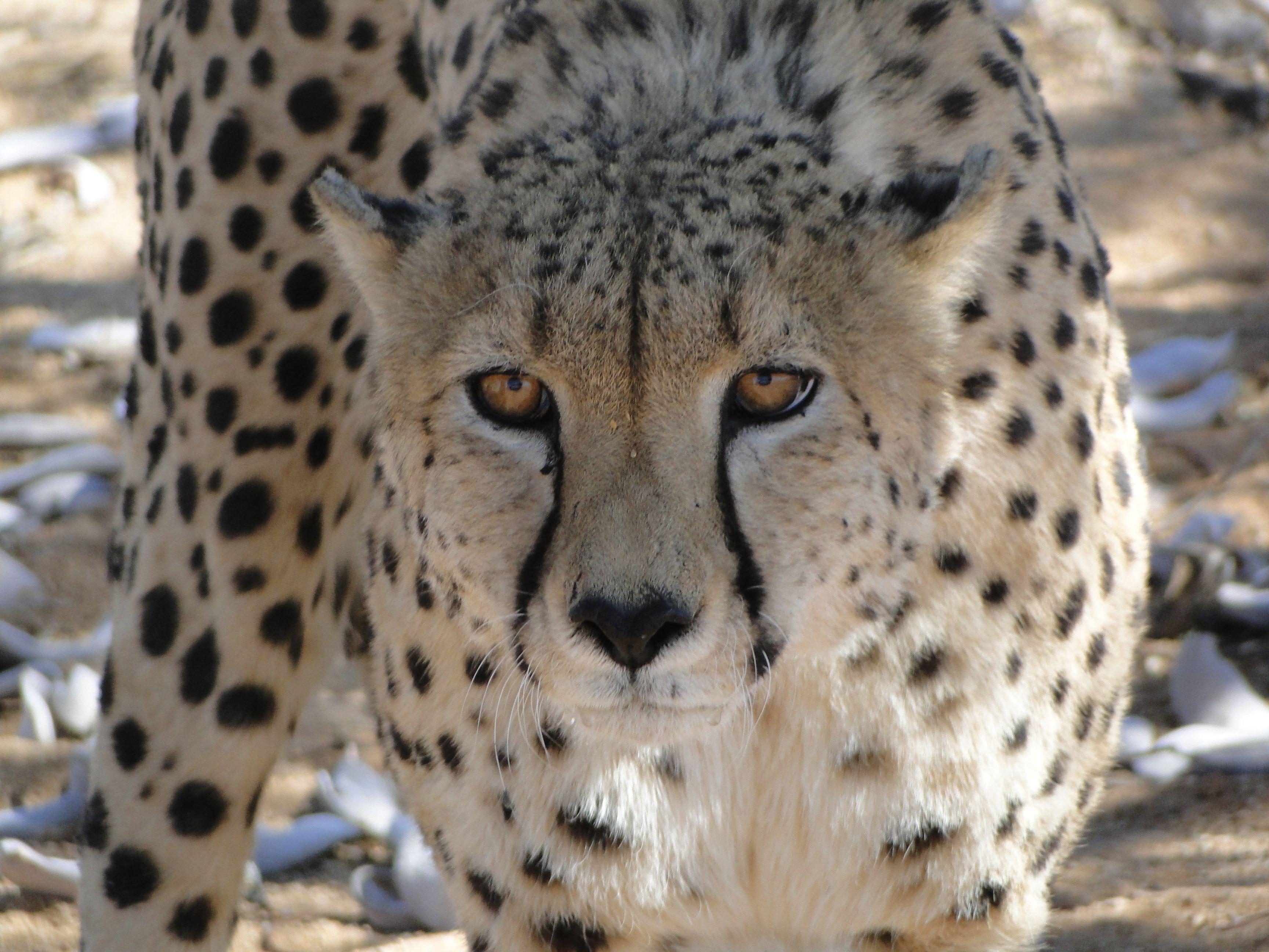 Spartacus is blijven leven dankzij donaties. Doe je mee om de toekomst van de cheetah in het wild veilig te stellen? http://www.stichtingspots.nl/index.php?page=354