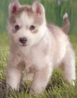 Blonde Siberian Husky Siberian Husky Alaskan Husky Husky Puppy