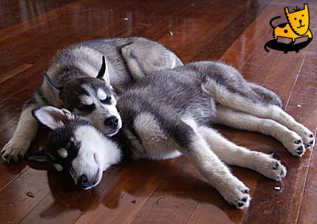 Definitely Gonna Have To Get Another Husky When We Get A House This Is Too Cute Husky Siberian Husky Sleeping Dogs