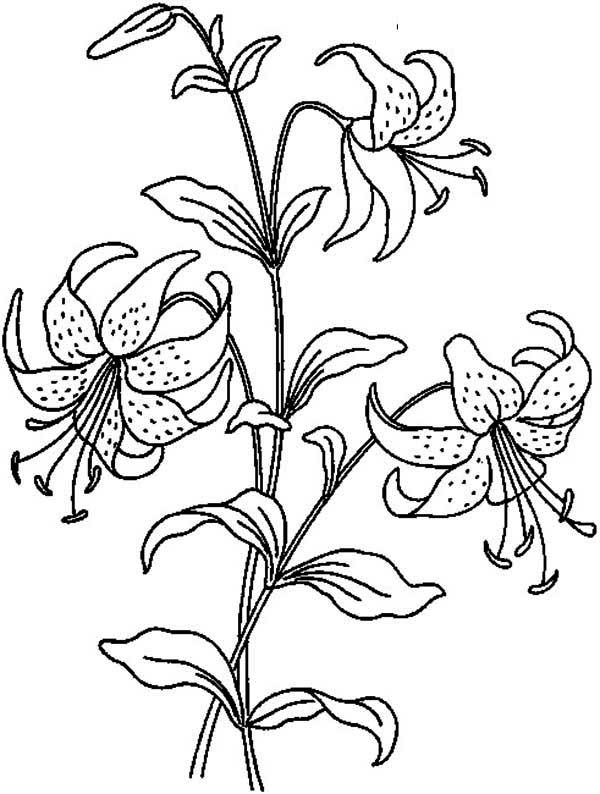 Flowers Beautiful Lily Flower Coloring Page Lilies Drawing