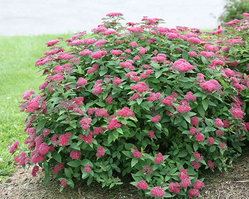 Colorchoice flowering shrubs from proven winners faddegons colorchoice flowering shrubs from proven winners faddegons nursery latham ny mightylinksfo
