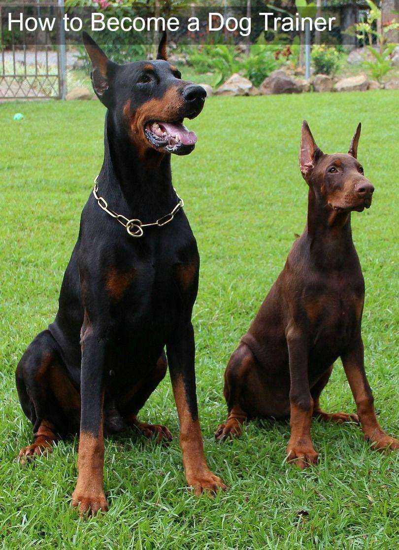 5 Steps To Dog Training Certification Doberman Pinscher Dog