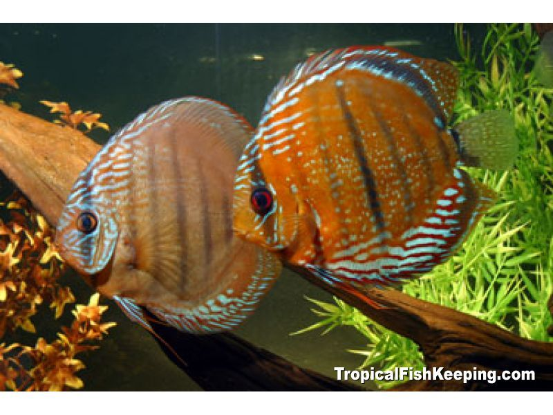 Discus Heckel Discus The heckel discus is rounder than most other