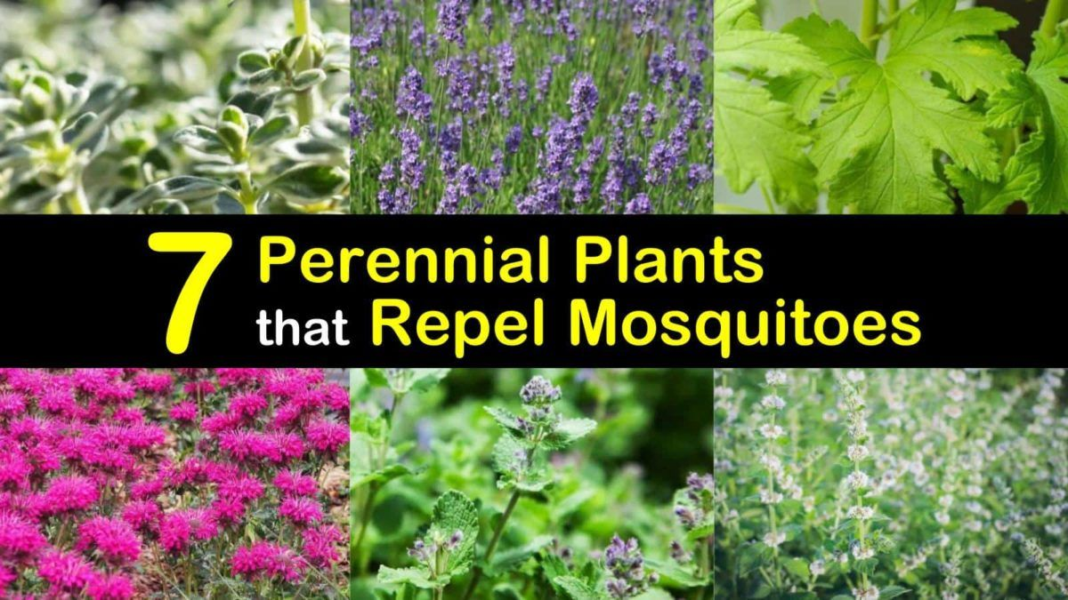 7 Perennial Plants that Repel Mosquitoes and Keep Flies