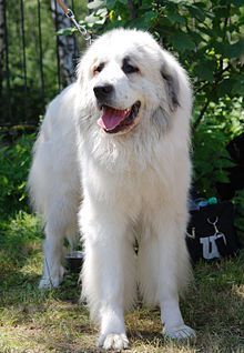 Great Pyrenees Wikipedia The Free Encyclopedia Great Pyrenees