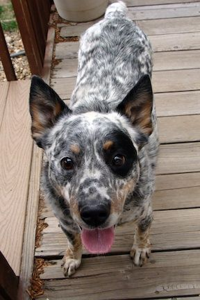 Dragon Deaf Cattle Dog New Hope Cattle Dog Rescue Of Colorado