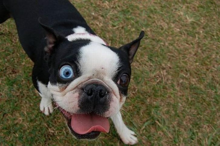 Zwa Me Diaforetiko Xrwma Matia With Images Boston Terrier Dog