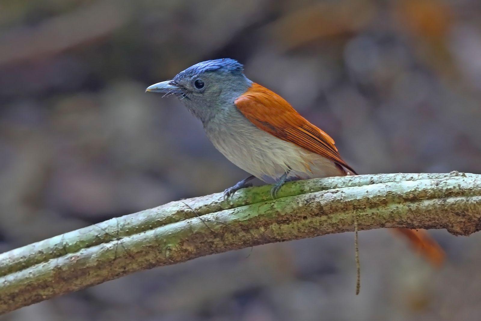 Asian Paradise Flycatcher (Terpsiphone paradisi) 寿带鸟