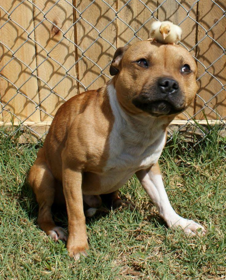 Staffy dog, Pitbull puppies, Cute dogs