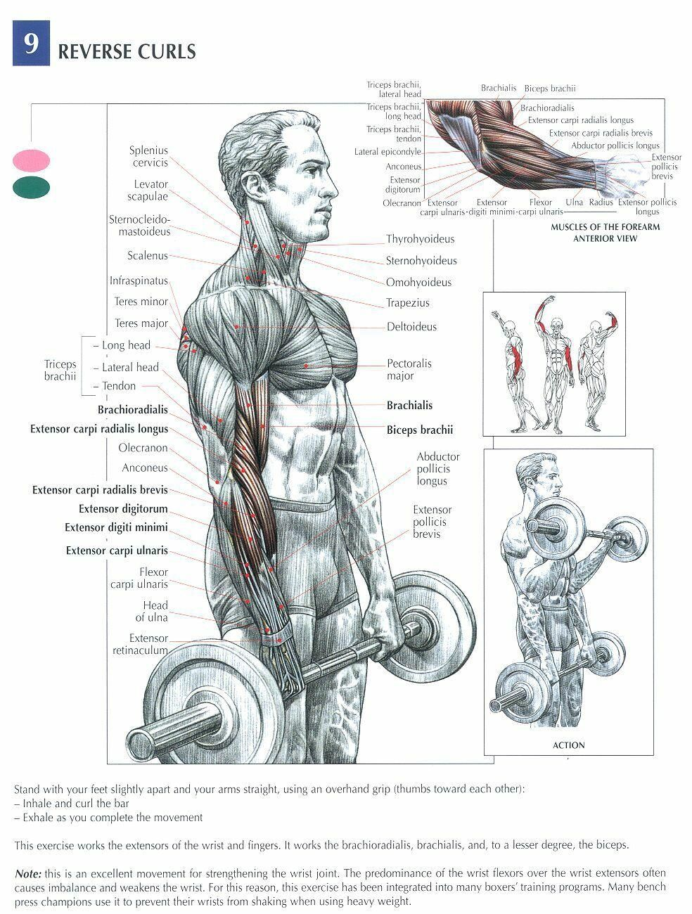Reverse Curls Bicep Exercises Pinterest Workout Exercises And