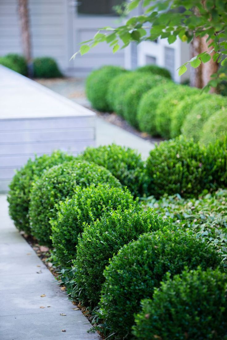 Garden bed with trees  A repeat pattern of spherical shrubs like a walkway More