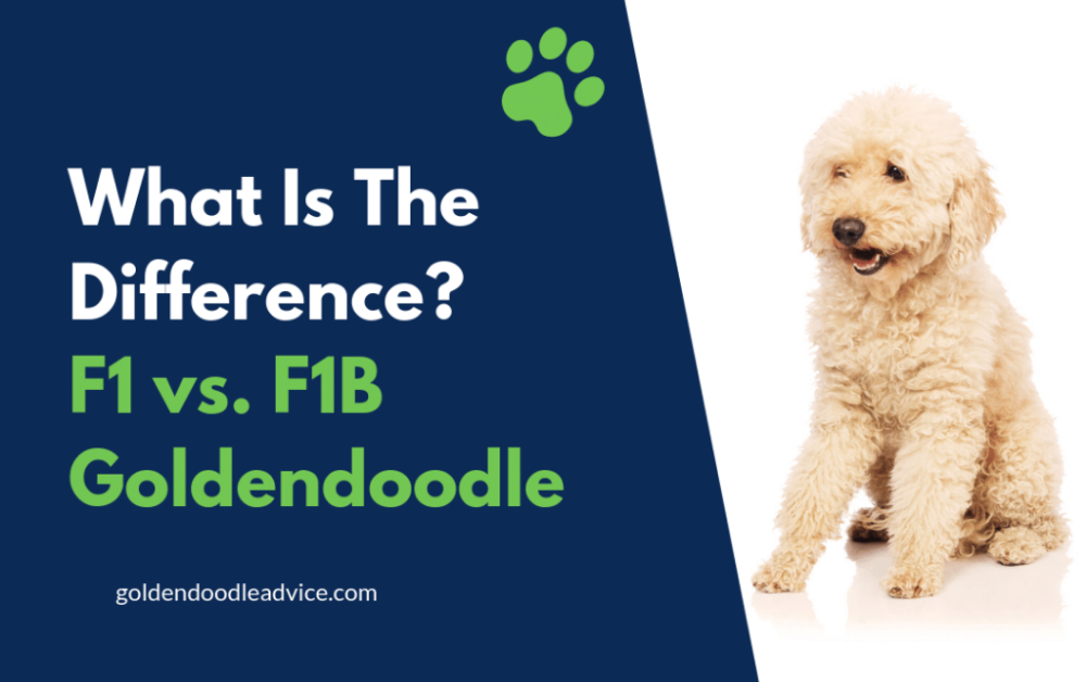 What's The Difference Between an F1 and F1B Goldendoodle